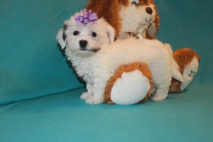 Madi Female CKC Havanese $1800 BUT WAIT SPECIAL $1500 Ready 2/23 SOLD MY NEW HOME ST AUGUSTINE, FL