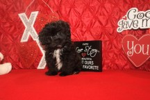 Maximus Male CKC Yorkipoo $1750 BUT WAIT FEB SPECIAL $1250 Ready 1/21 SOLD MY NEW HOME FERNANDINA, FL