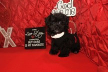 Marco Male CKC Yorkipoo $1750 Ready 1/21 SOLD MY NEW HOME ATLANTIC BEACH. FL