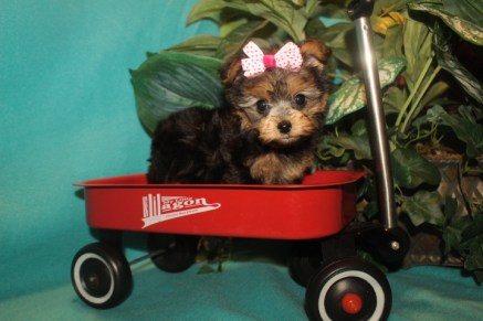 Jam Female CKC Yorkipoo $1750 Ready 2/22 SOLD MY NEW HOME JACKSONVILLE, FL