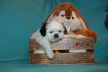 Polo Male Imperial CKC Shih Tzu $1750 Ready 3/10 SOLD MY NEW HOME ST AUGUSTINE, FL