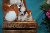 Gentle Male CKC Malshi $1750 Ready 3/29 SOLD MY NEW HOME PONTE VEDRA BEACH, FL 5 wks 1.2lbs