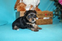Scooter Male T-cup Yorkie $1750 Ready 3/31 SOLD MY NEW HOME JACKSONVILLE, FL