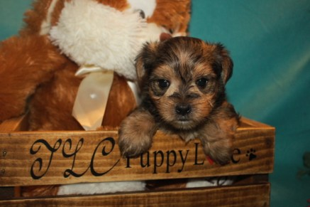 Elvis Male CKC Morkie $1750 Ready 3/28 SOLD MY NEW HOME ST AUGUSTINE, FL