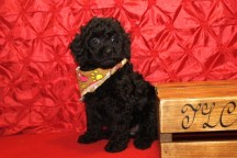 Pablo Male CKC Mini Labradoodle $1750 PUPPY SPECIAL $1500 Ready 5/8 7W2D 3.3lbs SOLD MY NEW HOME CHARLOTTE, NC