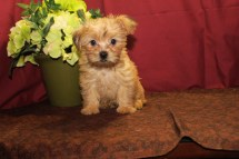 Einstein Male CKC Shorkie $1750 Ready 5/6 AVAILABLE 9W3D 2.14lbs
