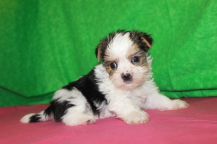 Shakespeare Male CKC Shorkie $1750 Ready 5/6 AVAILABLE 2W5D Old 1.12lbs