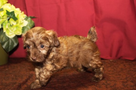 Jenna Female Maltipoo $1750 Ready 6/3 SOLD MY NEW HOME MAGNOLIA, TX 5W3D 1.9 lbs