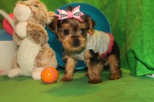 Muffin Female CKC T-cup Yorkie $1750 Ready 4/10 SOLD MY NEW HOME ST SIMON ISLAND, GA