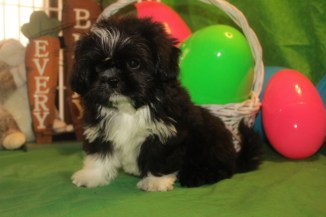 Tux Male Imperial CKC Shih Tzu $1750 BUT WAIT PUPPY SPECIAL $999 Ready 3/10 HAS DEPOSIT MY NEW HOME JACKSONVILLE, FL