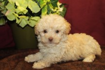 Boo Boo Male CKC Maltipoo $1750 Ready 5/27 SOLD MY NEW HOME JACKSONVILLE, FL 4W4D 1.10 lbs