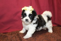 Raven Female CKC Malshi $1750 Ready 6/3 SOLD MY NEW HOME MIAMI, FL 1.10 LBS 5W2D