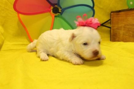 Little Angel Female CKC Havamalt $1750 Ready 7/15 HAS DEPOSIT MY NEW HOME JACKSONVILLE, FL 1.2lbs 3Wks