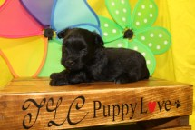 Rainy Female T-Cup CKC Yorkipoo $2000 Ready 7/13 HAS DEPOSIT MY NEW HOME JOSHUA TX 14oz 3W2D