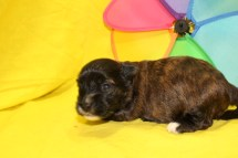Crackle Male CKC Havanese $1750 Ready 7/13 AVAILABLE 1.4 Lbs 2W4D