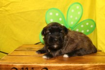 Piglet Female CKC Shihpoio $1750 Ready 7/17 HAS DEPOSIT MY NEW HOME PARKLAND, FL 1.2LBS 2WKS