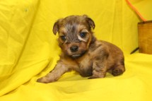 Sunshine Female CKC Yorkipoo $1700 Ready 7/13 AVAILABLE 1.10 LBS 3W2D