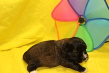 Tigger Male CKC Shihpoio $1750 Ready 7/17 AVAILABLE 1.3 Lbs 2Wks