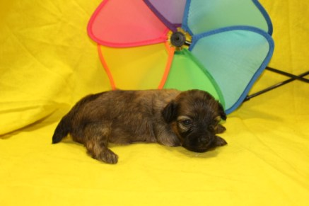Tilly Female CKC Havapoo $1750 Ready 7/14 HAS DEPOSIT MY NEW HOME CAPE CORAL, FL