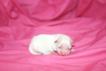 Pearl Fenale CKC Maltese $1750 Ready 7/24 HAS DEPOSIT MY NEW HOME 5.FL2 oz Just Born