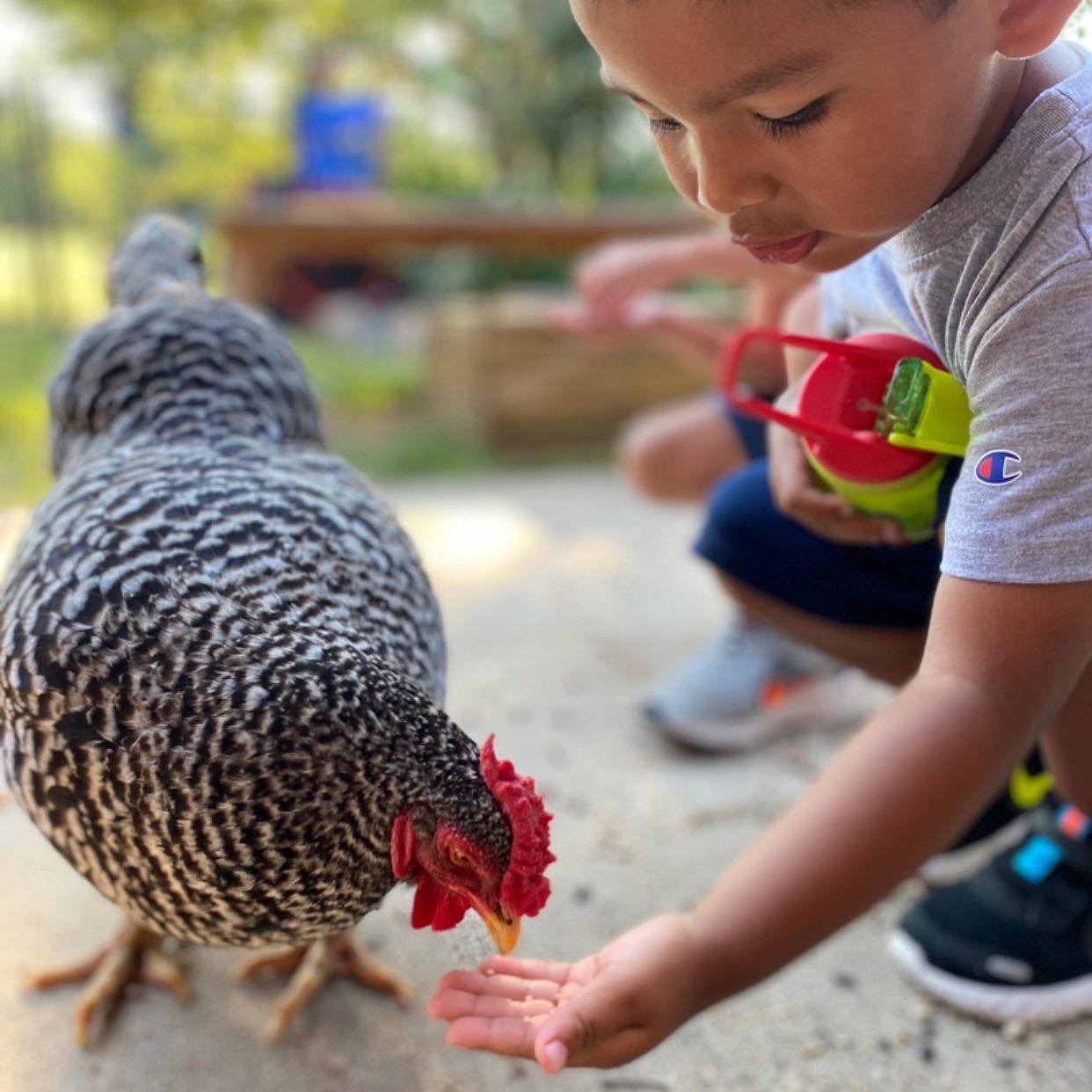 Early Childhood Feeding Chicken