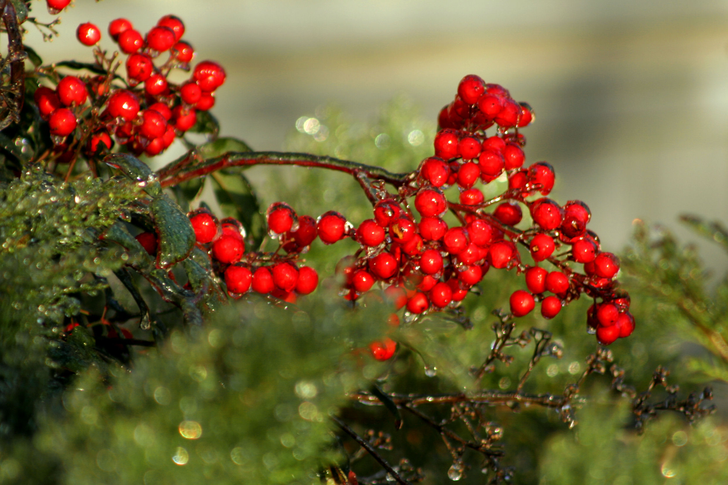 Ice-laden Nandina berries