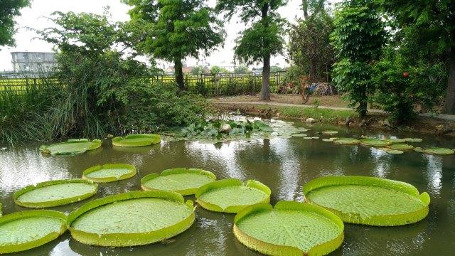 Taoyuan-Guanyin-Lotus Garden-Santa Cruz Waterlilly-1-20180616
