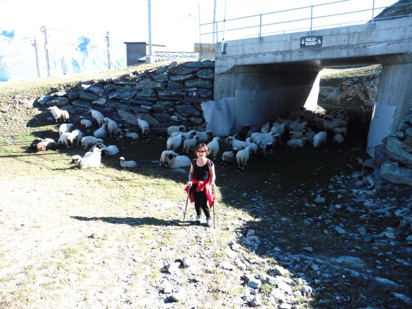 策馬特健行-綿羊