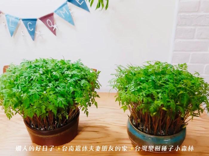 台灣欒樹種子小森林