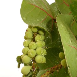 Mystery Surrounding Sea Grapes Decoded