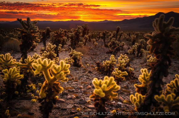 Cholla Sunrise by T.M. Schultze