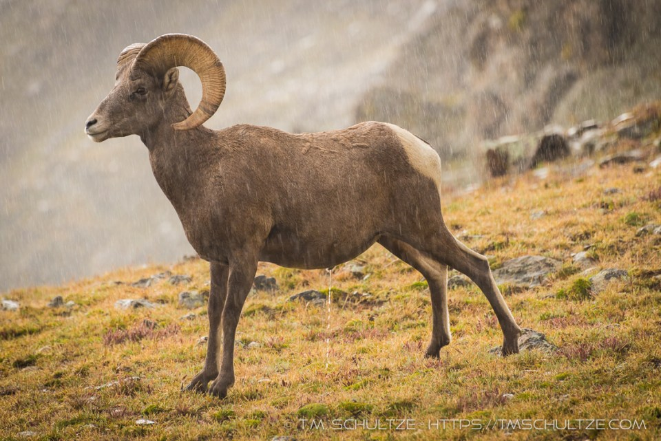 Bighorn Sheep In A Storm by T.M. Schultze