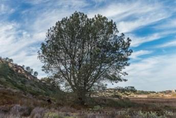Penasquitos Creek Torrey Pine