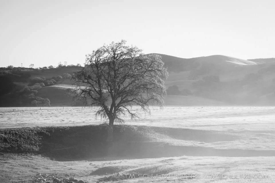 Oak, San Andreas Rift Valley, Black and White, by T.M. Schultze