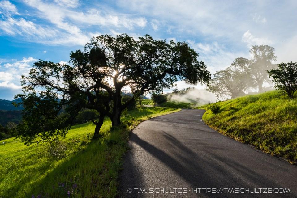 Lone Oak, Figueroa Mountain Road, by T.M. Schultze