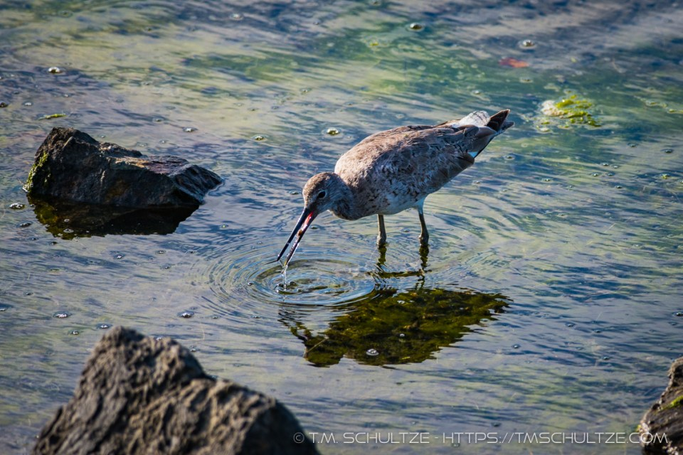 Willet, Ocean Beach River Channel