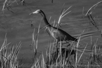 Little Blue Heron in Black and White