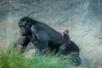 Bonobo Getting Laid