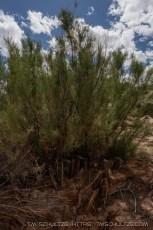 Calf Canyon Regrowth