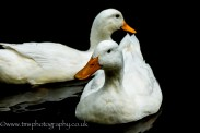 Ducks_Tissington