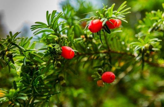 Pine Berries