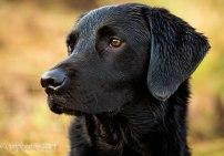 Black Labrador_dogphotography