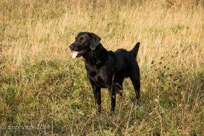-Black Labrador_tmphotos