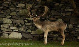 Fallow Buck-4