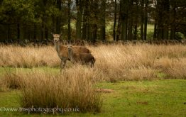 Red Deer_young