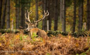 Red Stag-3