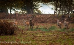 Red Stag_RedDoes