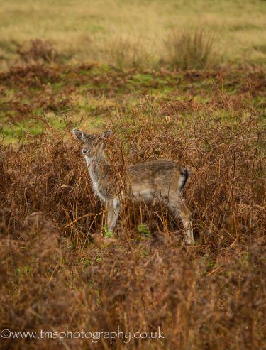 Young Fallow deer-2