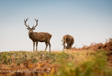 Young Red Deer Stag