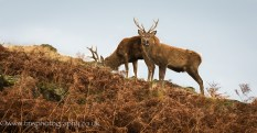 Young Red Stags